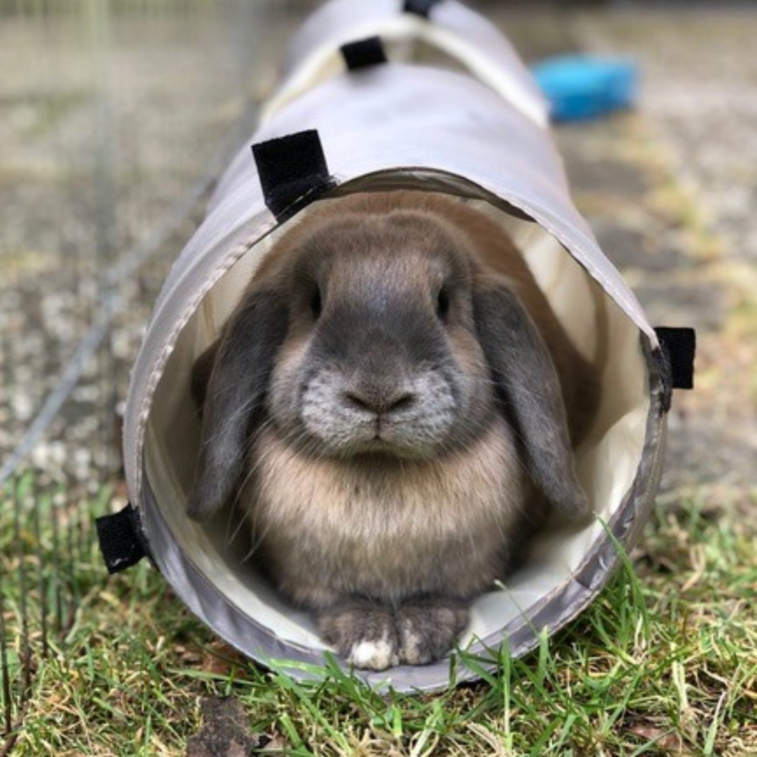 Dexter the Bunny keeping cool in his Rosewood Activity Tunnel 😍🐰❤️🐾  📸: @dididexternl     #Rosewoodpet #Rosewood #bunny #Bunniesofinstagram #bunnylove #cute #hollandlop #cute #cutie #bunnyoftheday