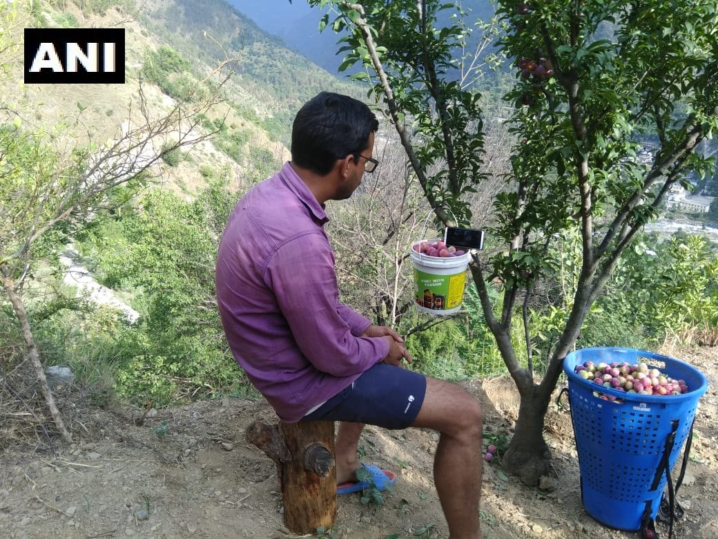 Himachal Pradesh: A fan watches #IndiaVsPakistan match while plucking his plum crop in Manglour village of Tirthan valley in Kullu district. #CWC19