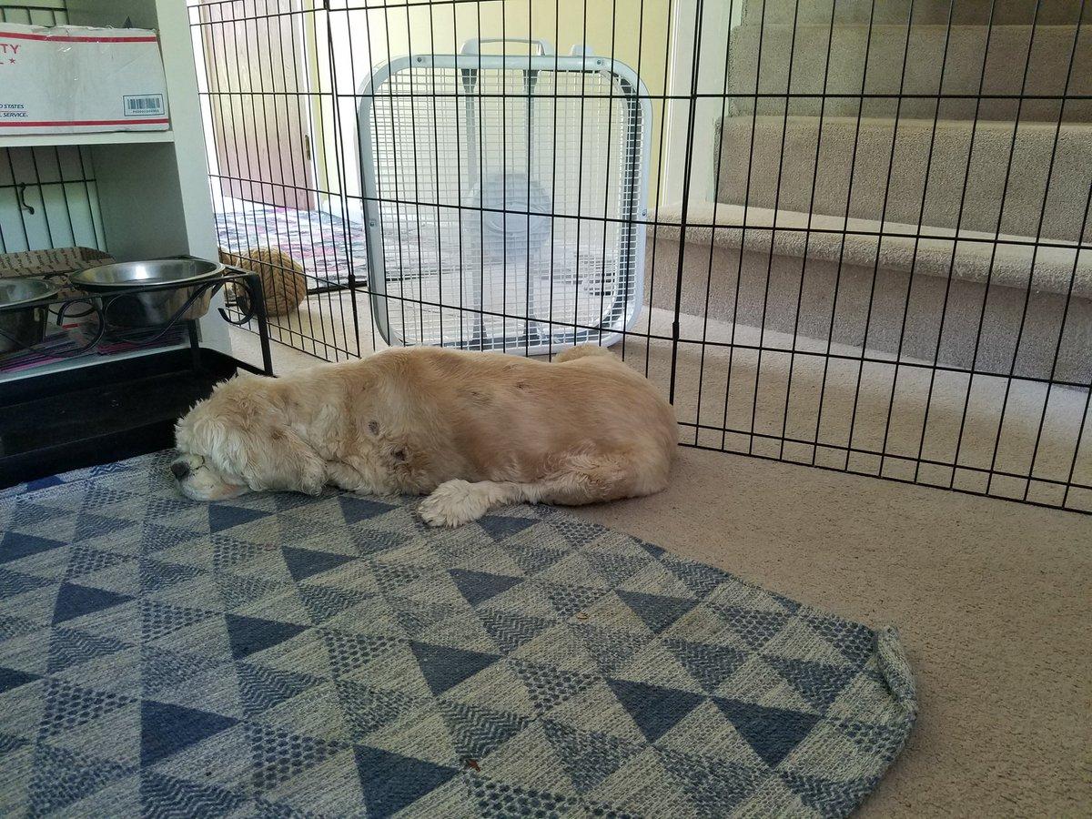 Lilo enjoying her new fan... #blinddog #rescuedog #seniordog #dogoftheday #dogsofinstagram #dog #cockerspaniel #doglife #ilovemydog #doglover #ilovedogs #capecod #eastham #dogoftheday #massachusetts #dogs #capecodlife #ma #rescuedogs #rescuedog