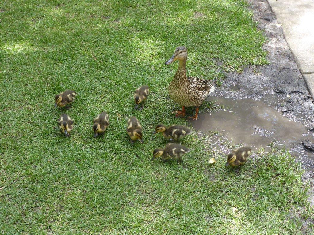 Manager's wildlife photos—ducks! https://whyevolutionistrue.wordpress.com/2019/06/16/managers-wildlife-photos-ducks/…
