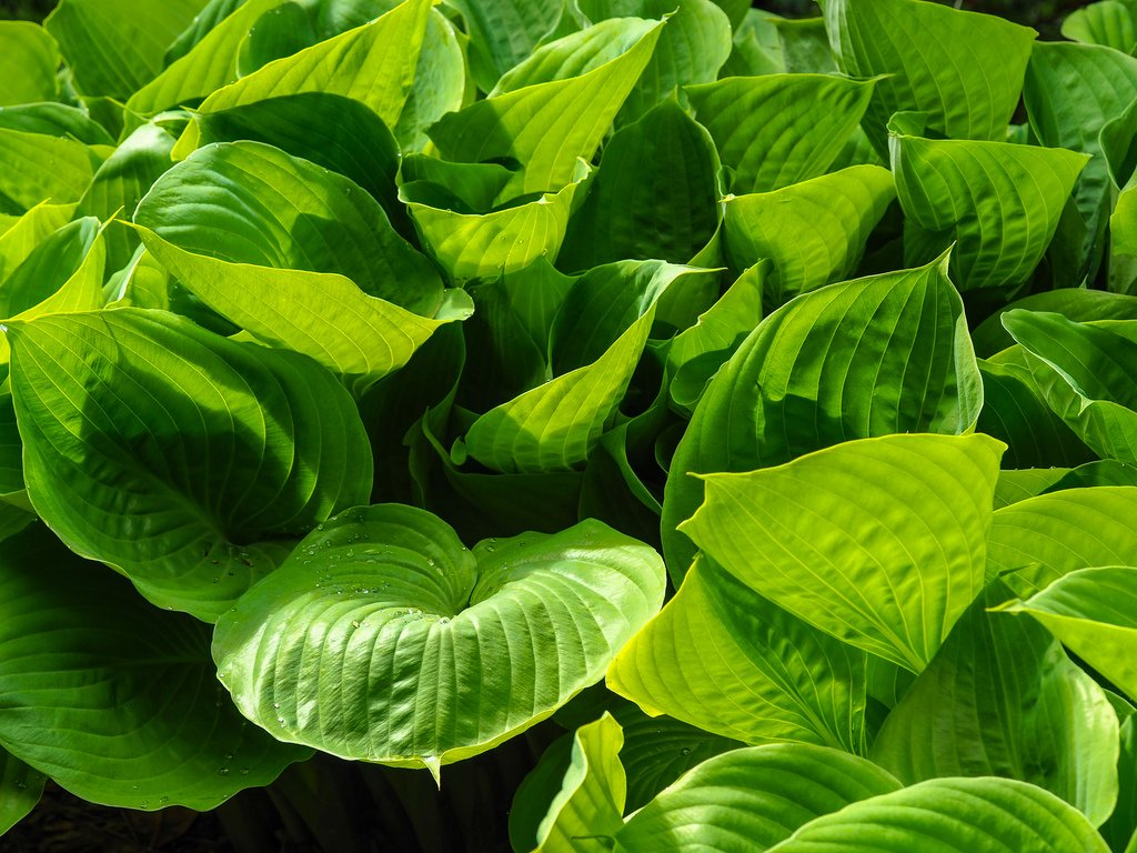 Dense green Hosta leaves Image available to download at https://t.co/8uQInIaz24 #Hosta #leaves #photography https://t.co/4rtFF1j1Ir