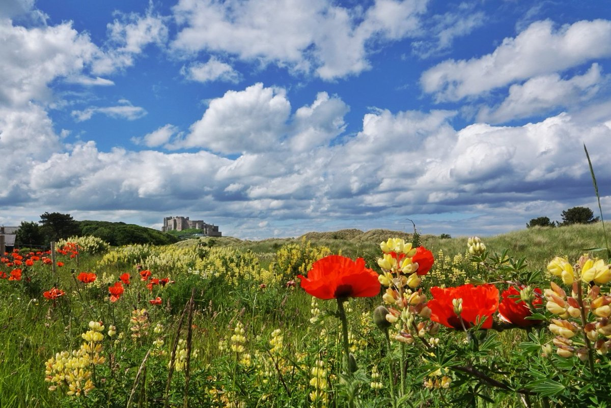 Lupins and poppies at #bamburgh Twit @VisitNland @NlandTourism @discovernland @NorthEastTweets @thenortheastHUB @NorthEastBuzz @NEFollowers @northcoastaonb @VisitEngland @NNTourism #northumberland @nland_uncovered @NTNorthd_Coast<br>http://pic.twitter.com/fk54SQx9S8