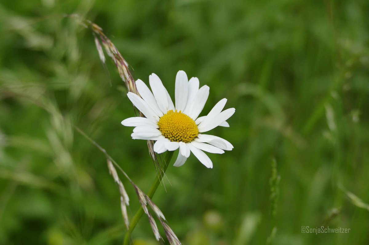 #Margerite ………. #Blume #Korbblütler #Natur #Pflanze #Leucanthemum https://t.co/Uk4eGhvLu2