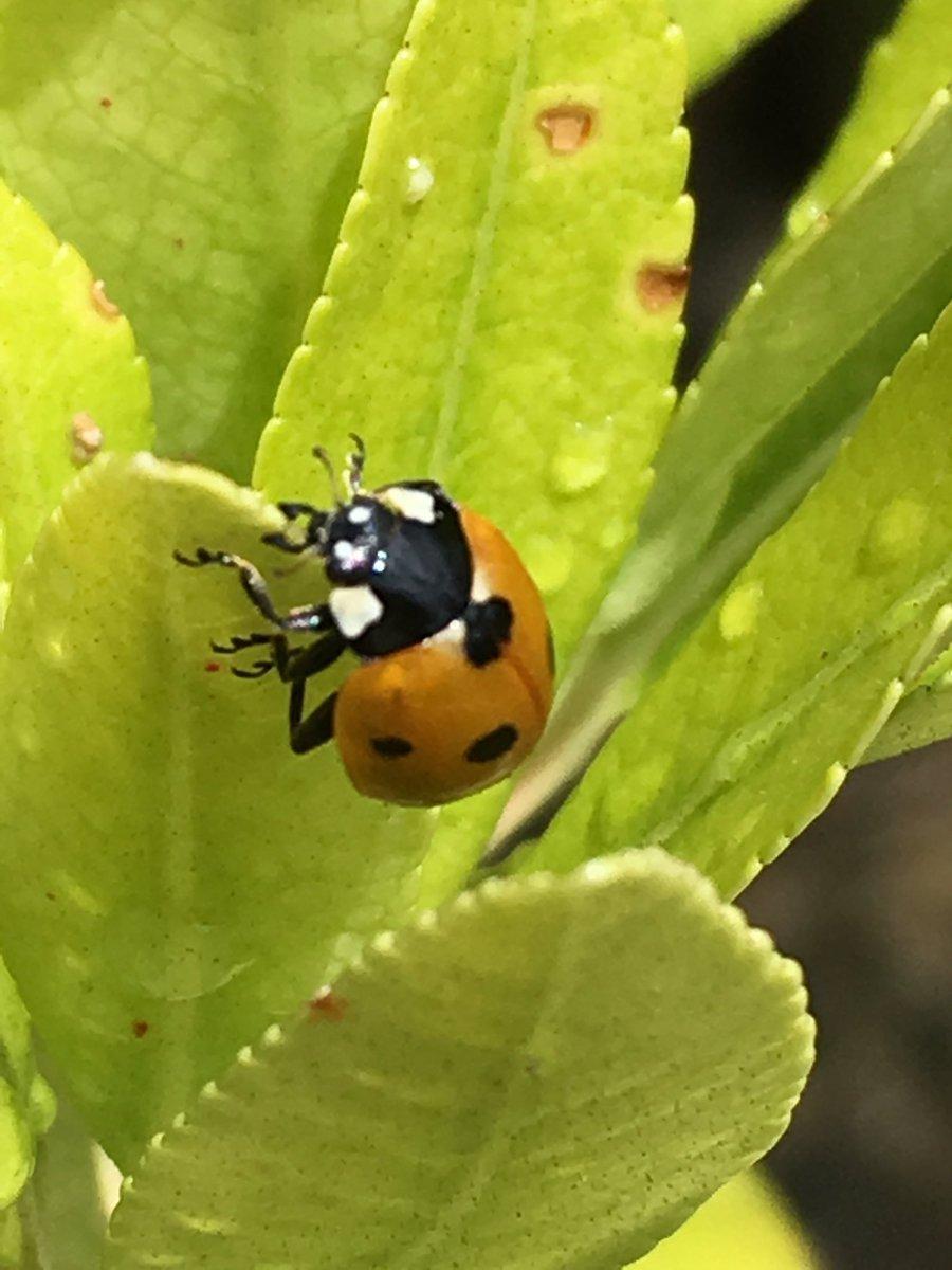 Ladybirds in the garden today 🐞