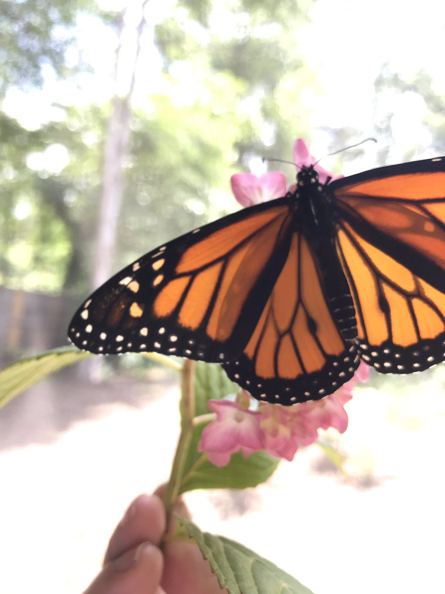 5 out of 14 monarchs emerged this weekend! #monarchs #monarchbutterfly #science