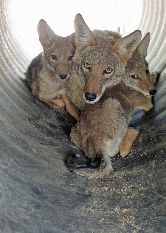Happy Father's Day ...  https://t.co/gDwU8g3cWa  #Coyotes #FathersDay2019 #Fathers #AnimalLivesMatter https://t.co/GOPDc7hqQg