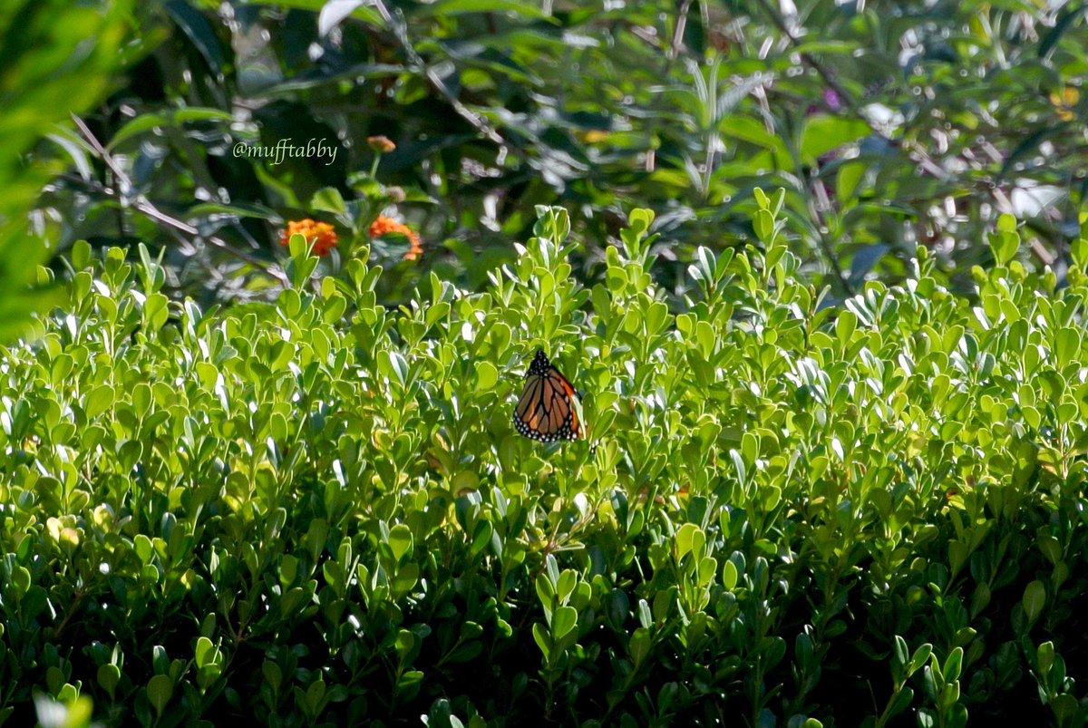 ランチどき、メキシコからカナダまで渡りをすることで有名な #モナーク蝶 が長いこと庭を飛び回っていました。 なぜか柘植の木がお気に入りの様子。 キッチンの窓ガラス越しに眺めました。 #MonarchButterfly #ButterflyMigration