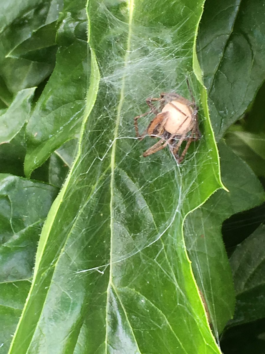 Mummy spider is fine, I think. Is it normal for her to be upside down? @BritishSpiders 📷 Monday morning 17/06/19
