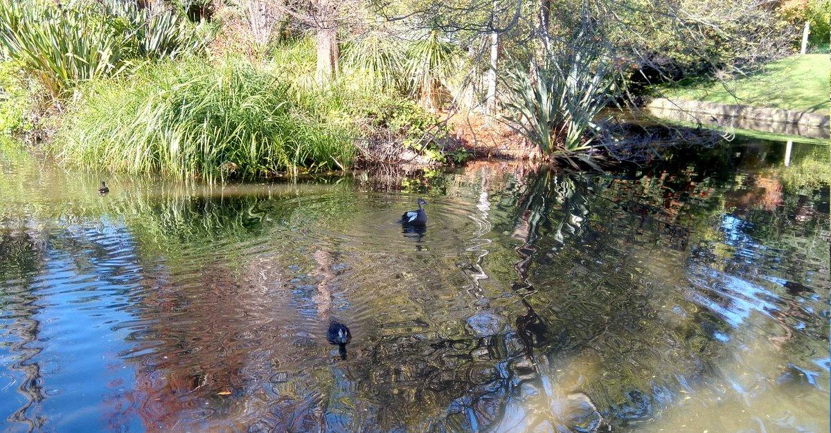 The #ducks on at miday in #winter  #melbournegardens #getoutside #nature #winter   @WildMelbourne @BirdlifeOz https://t.co/P9Tw4DnwI3