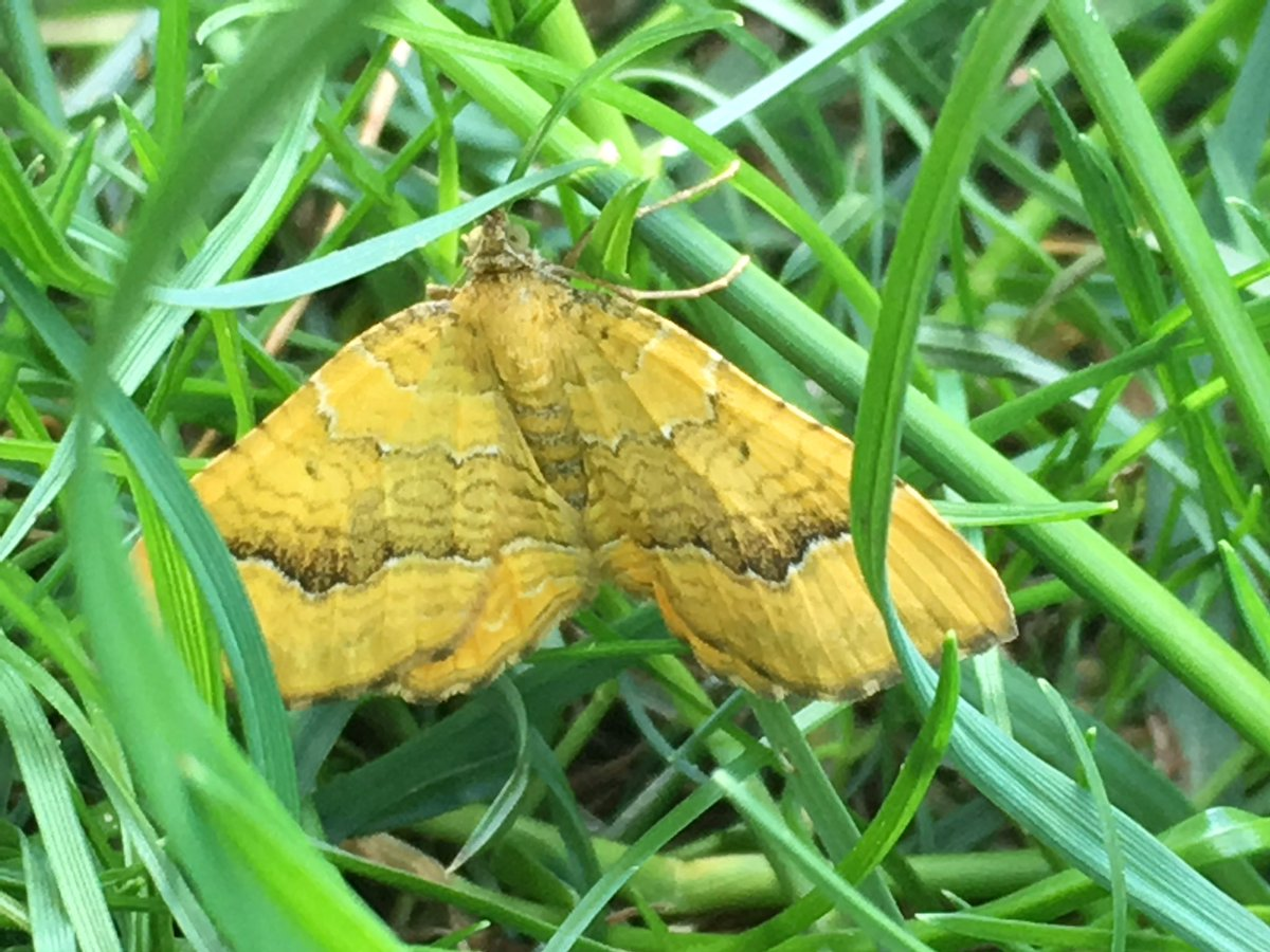 I've just seen this moth in the garden. It's very pretty. Can anyone tell me what it is please? Thank you. @BBOWT @BritishMoths