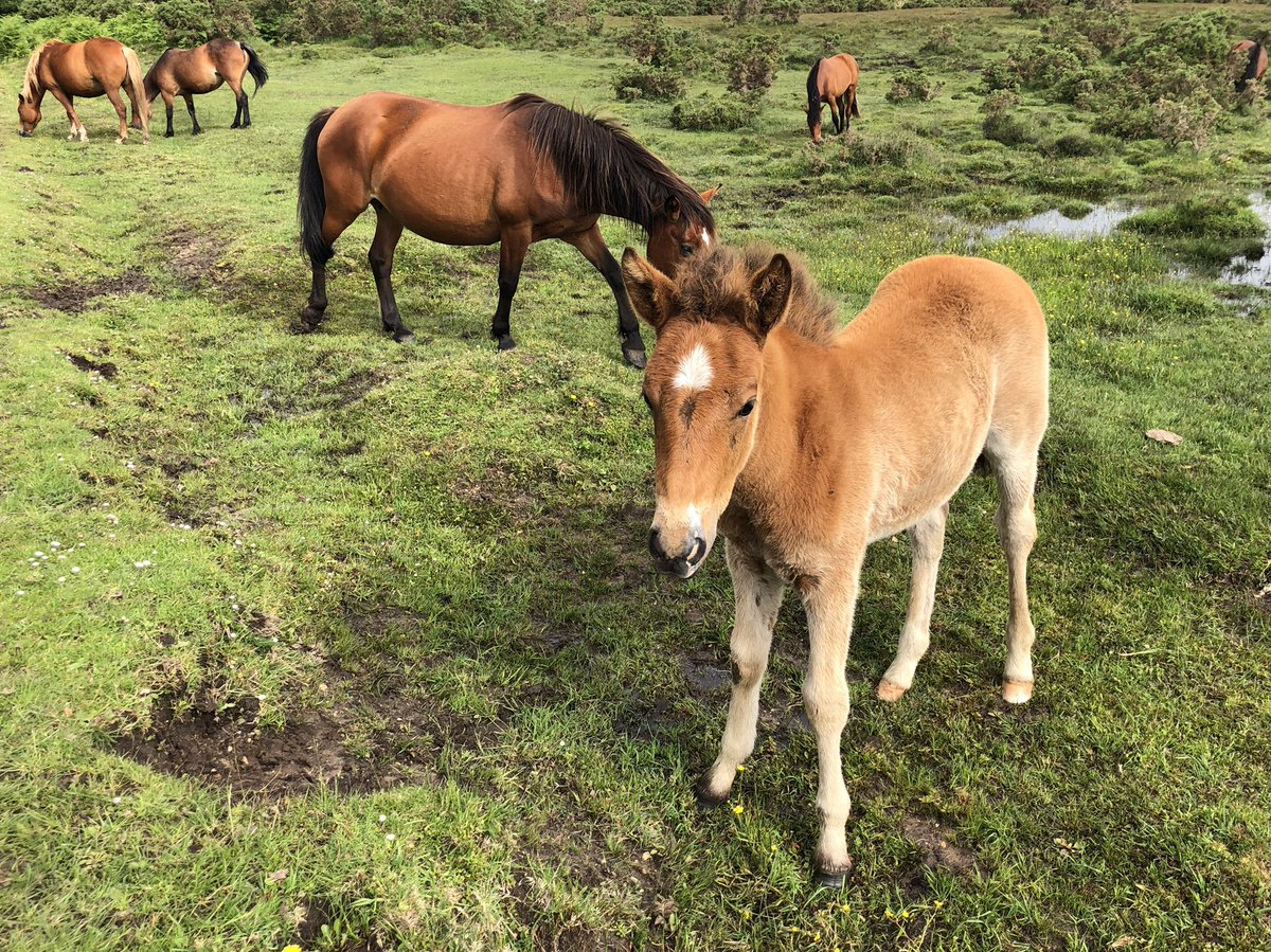 Foals all over the #NewForest as I did my #126WalksOfChemo walk this morning.<br>http://pic.twitter.com/RToHr7264A
