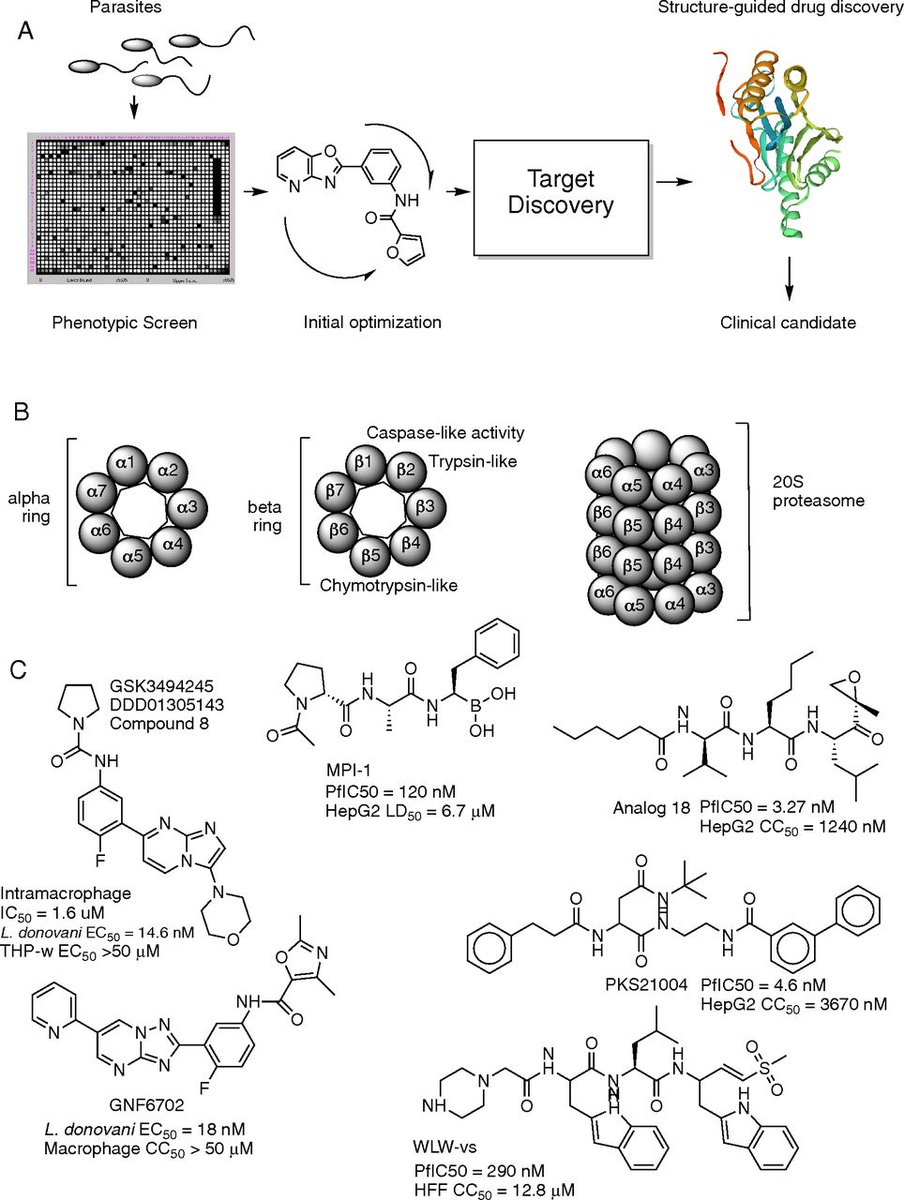 The #proteasome as a target: How not tidying up can have toxic consequences for parasitic protozoa https://www.pnas.org/content/116/21/10198… #Protists By Elizabeth Winzeler and Sabine Ottilie