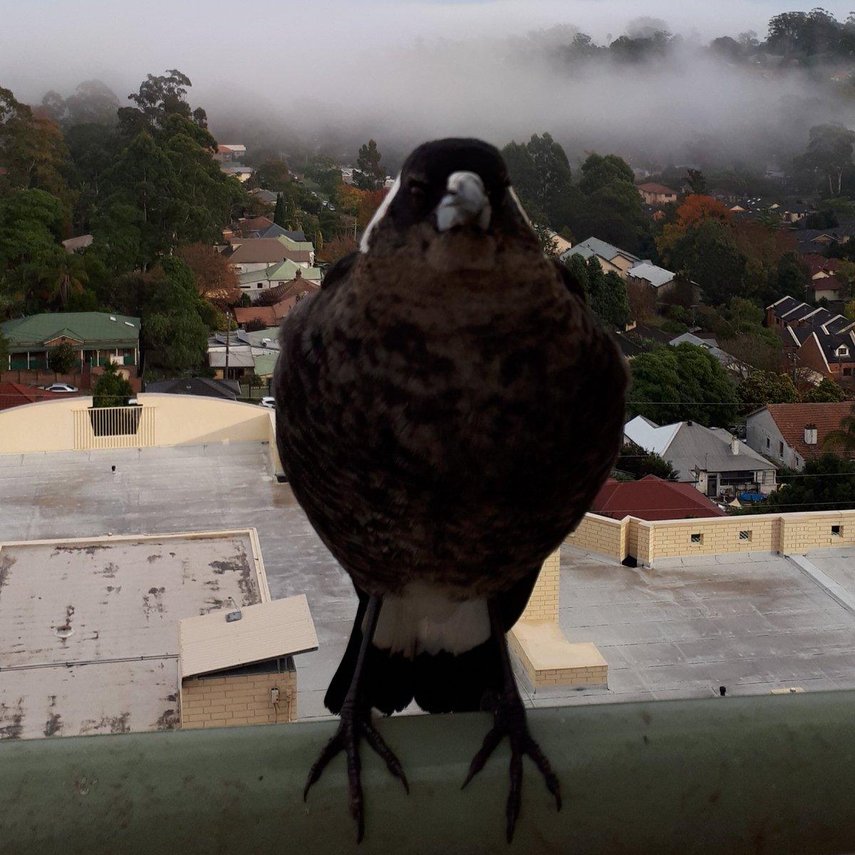 Absolute avian unit  #chibi ? #magpie #nsfw ?