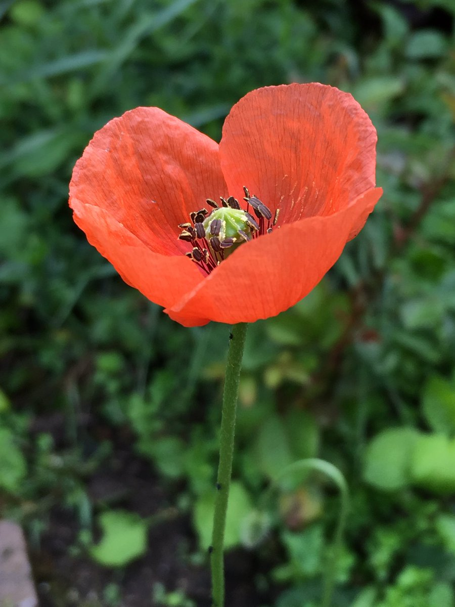 First of the wild flowers❣️ #Poppy @seed_ball