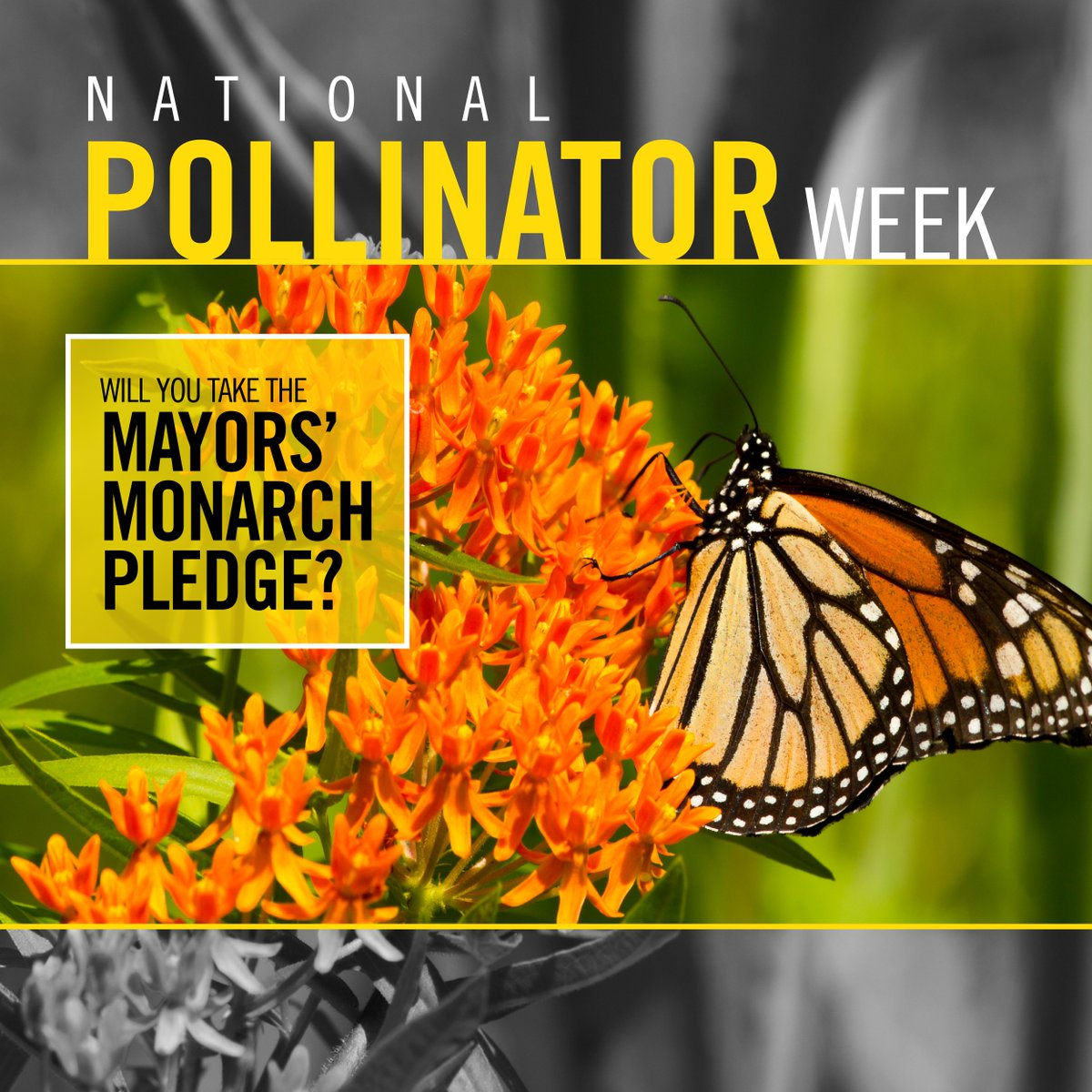 It's #NationalPollinatorWeek  DYK? The Eastern #Monarchbutterfly population has declined 90% over the past 20 yrs. The Region signed the #mayorsmonarchpledge, pledging to create monarch habitat & educate residents on making a difference. Learn more at: https://bddy.me/2FcduUY