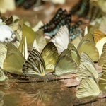 Image for the Tweet beginning: 💕🦋🦋 Butterflies at Pang Sida