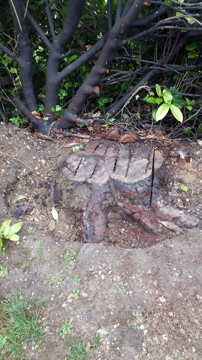Tree stump grinding a cherry tree stump at Sturmer, near Haverhill, Suffolk. This cherry tree stump was removed in prepa…