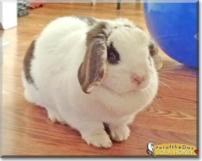 Monday's Pet of the Day is #cute Lola Honey, a #Miniature #Holland Lop #bunny #rabbit #love - read her tale  http://petoftheday.com/archive/2019/June/17.html…    #petoftheday #pets #PetsofTwitter #petsofinstagram