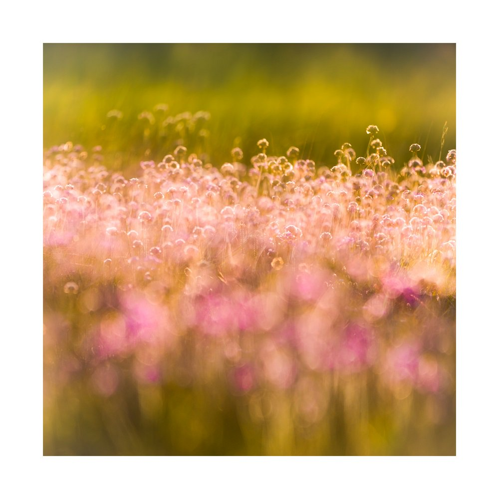 Thrift or sea pinks in a bit of evening light for this weeks #WexMondays #NewForest <br>http://pic.twitter.com/Nv1OaCECK5