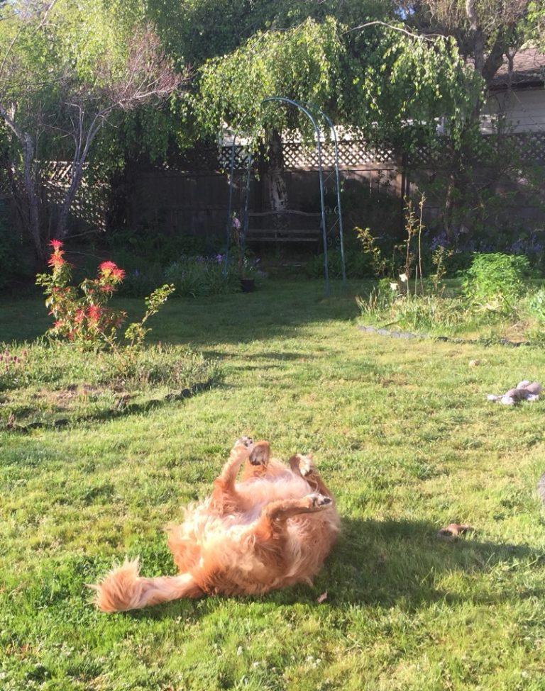 My backyard assistant is slacking off again... #dogslife #MondayMood #slacker