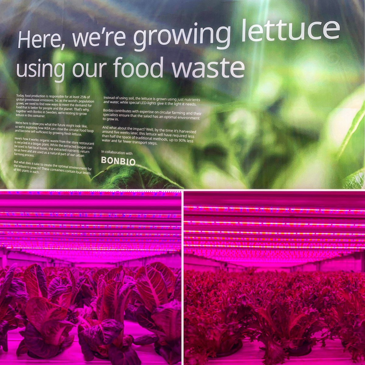 We are growing lettuce using our #foodwaste ! Organic waste