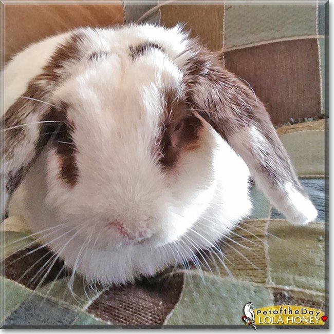 Celebrate #bundaymonday with #lovely Lola Honey, a #Miniature #Holland Lop #bunny #rabbit - read her tale  http://petoftheday.com/archive/2019/June/17.html… #petoftheday #pets #PetsofTwitter #petsofinstagram