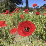 Image for the Tweet beginning: Papaver rhoeas has a wide