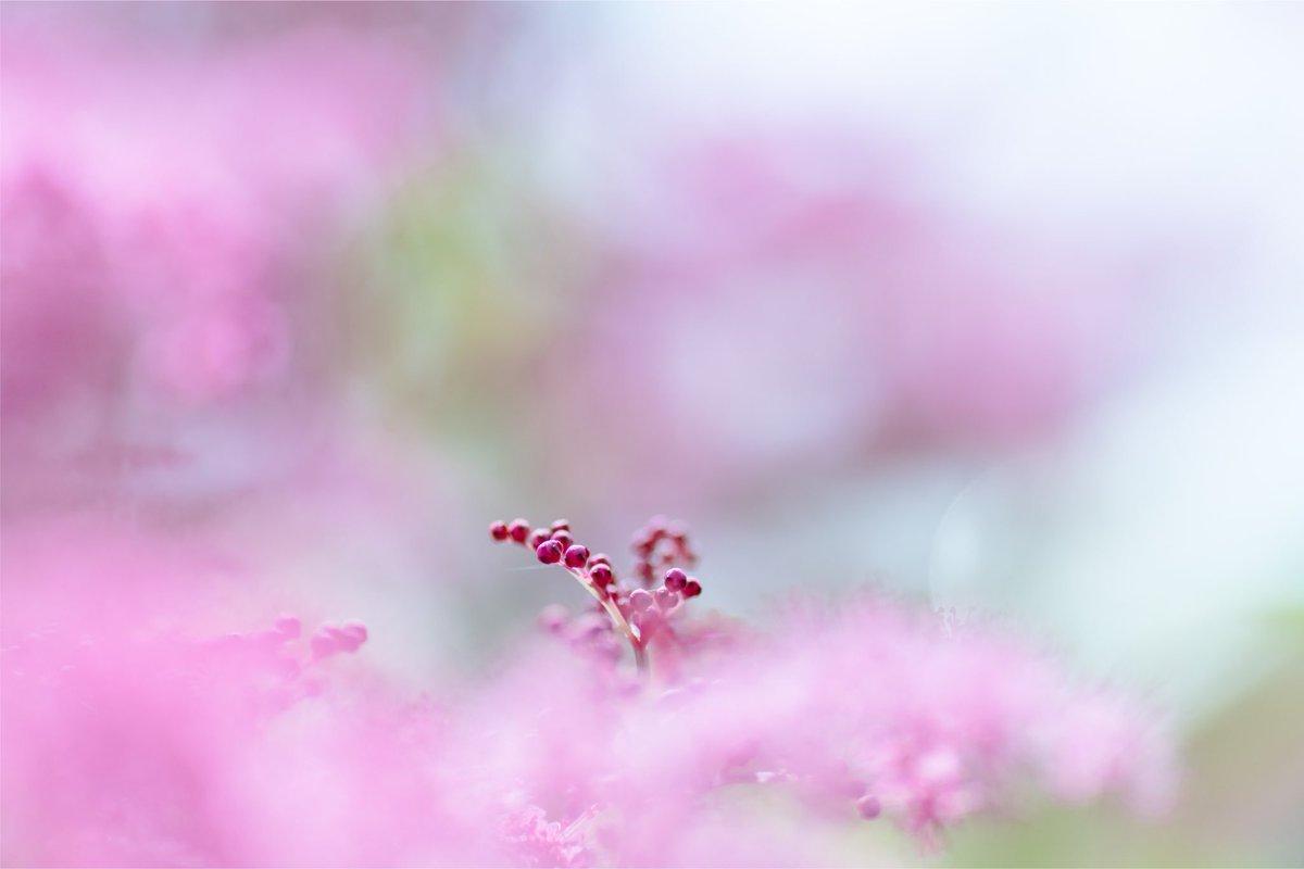 庭のシモツケ🌸ここ2~3年病気でやられてたのが今年はちゃんと咲いた ⸜( ´ ꒳ ` )⸝  #おはよう  #シモツケ  #ファインダー越しの私の世界