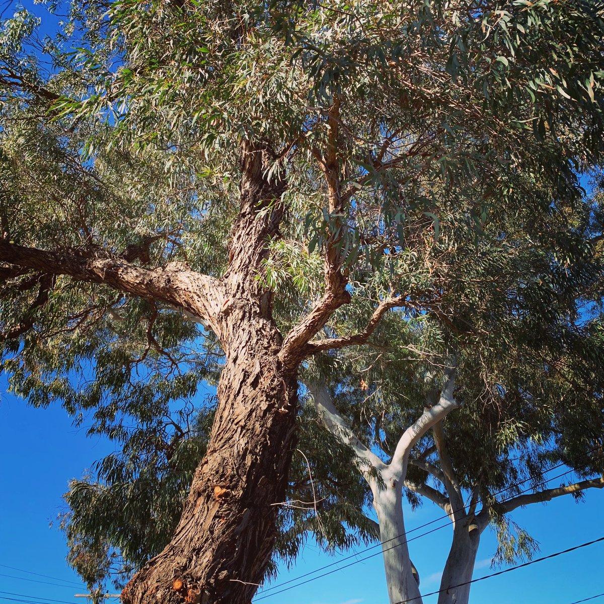Trees Of Sydney On Twitter Eucalyptus Nicholii Narrow Leaved Black Peppermint Eucalyptus Scoparia Wallangarra White Gum Eucalyptusnicholii Narrowleavedblackpeppermint Eucalyptusscoparia Wallangarrawhitegum Eucalyptus Gumtrees
