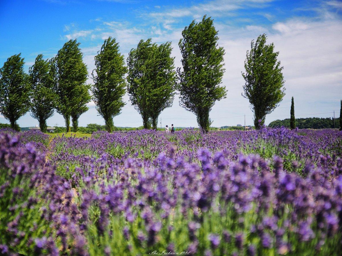 昨日は佐倉ラベンダーランドへ。 やっぱりラベンダー最高でした!  prefecture:chiba location:Sakura Lavender Land camera:OLYMPUS  OMD-EM1 lens:ZUIKO DIGITAL ED 7〜14mm  F4.0+MMF-3 shooting mode:normal day:2019/6/17 title:ラベンダー畑の中で