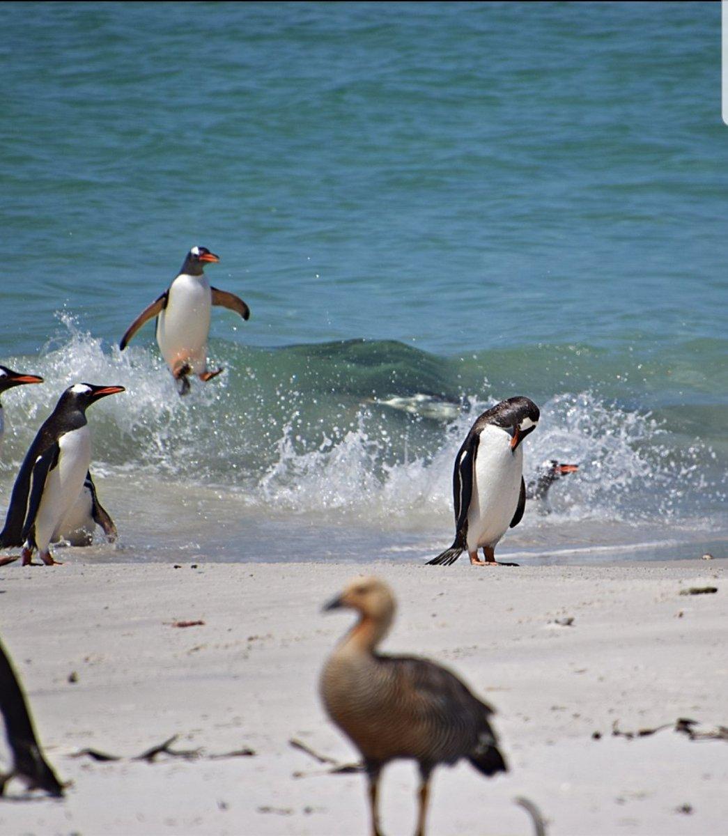 Surfing gentoo #penguin #falklands<br>http://pic.twitter.com/KSvygfXxf4