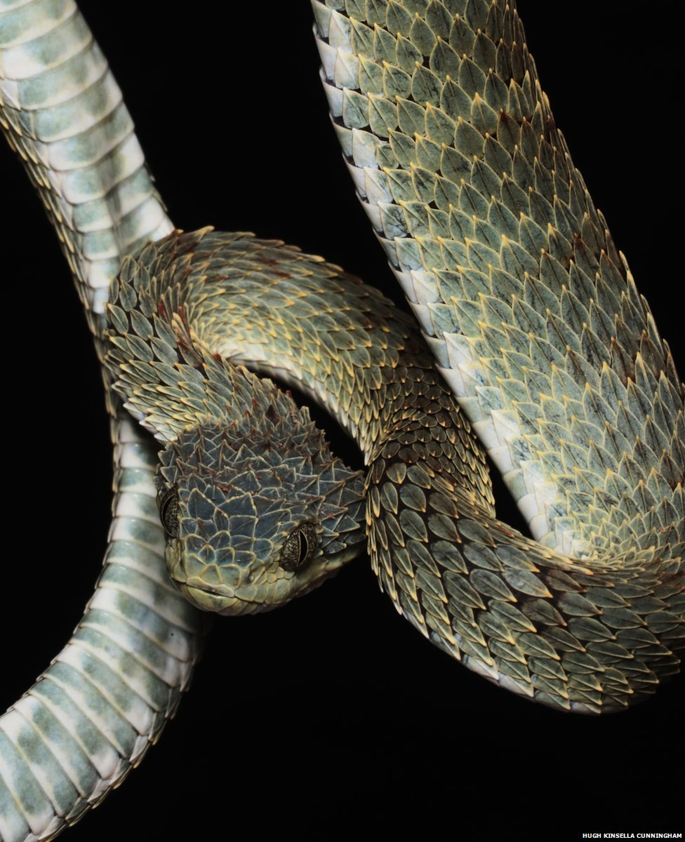 Face to face with some of the world's most dangerous snakes 🐍  Photographer Hugh Kinsella Cunningham captures close-up portraits of the Democratic Republic of Congo's deadly vipers https://bbc.in/2XWSokD