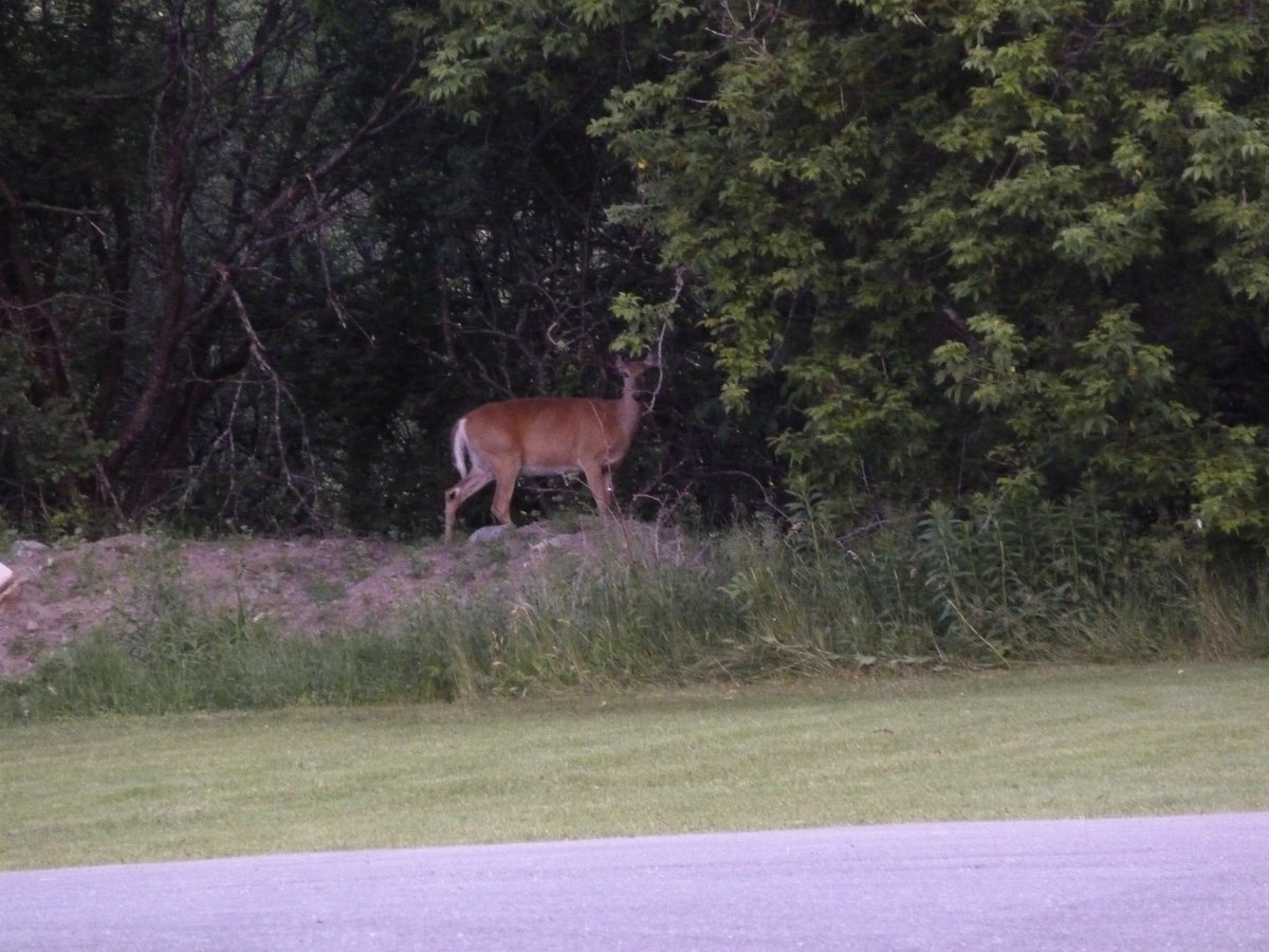 earlier this morning (around 4.40am) doing some #urbanbird surveys I came across another animal that lives in the @cityofkingston with us. Usually, I have eyes for #birds but that #deer (white-tailed deer I think) was nice to meet #bikingbirder #onwheels #ohdeer <br>http://pic.twitter.com/SRTT1EwrXc