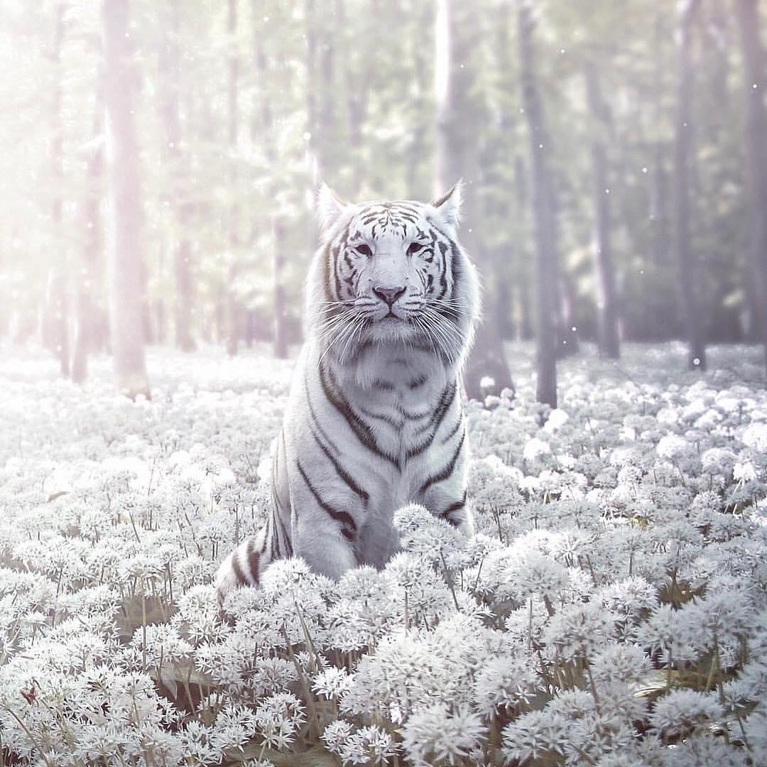 Mystic tiger 🐯 Photo by @en.ps https://t.co/RjqbYZz8Bf