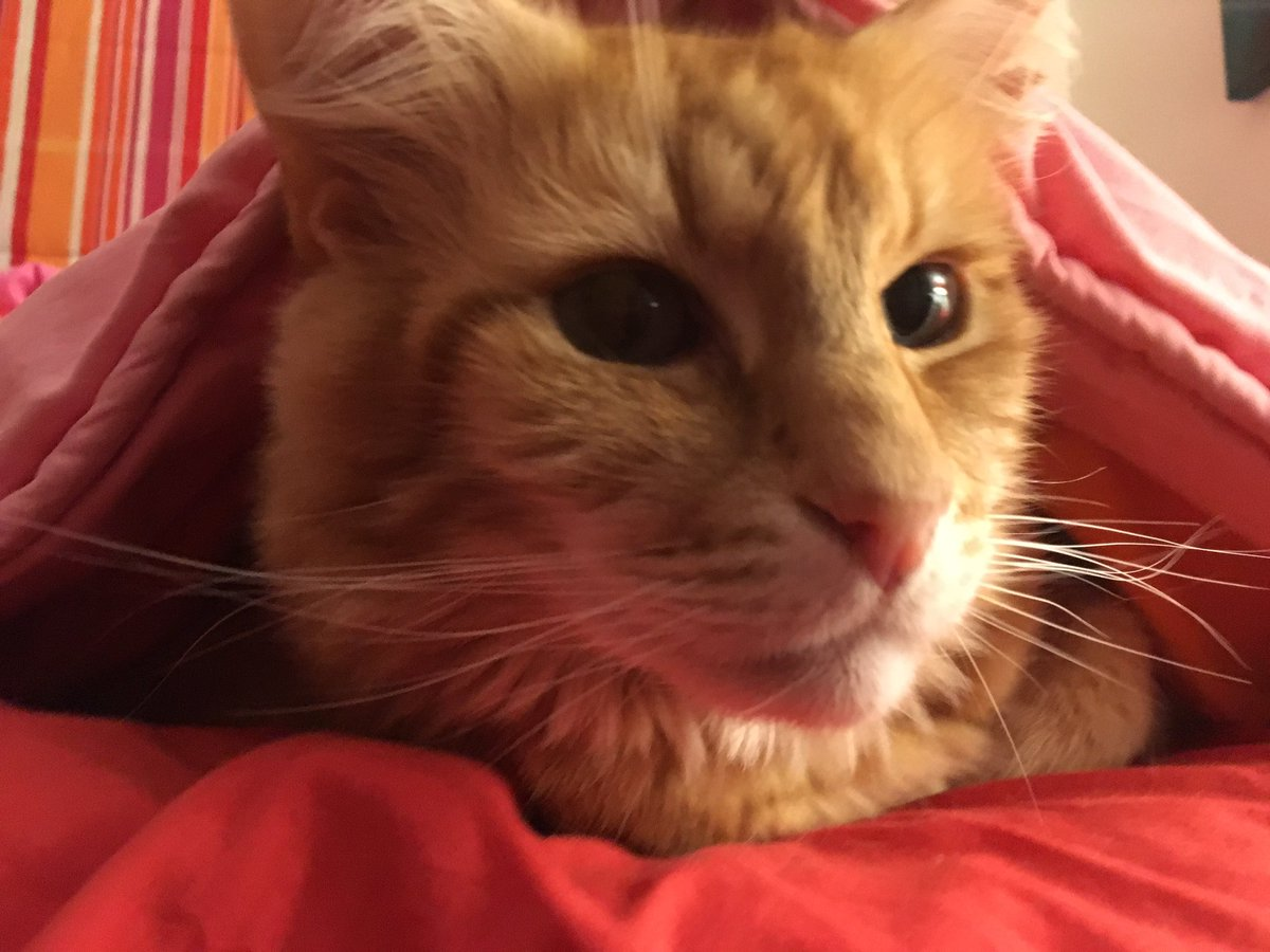 Emerging from under the quilts (hey, it's cold out there, southern #catsoftwitter!) to say hi to #whiskerswednesday.Oh, and demand to know where breakfast is.