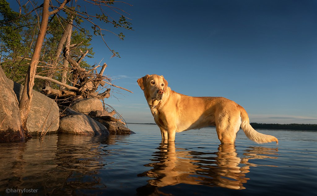 Sophie so enjoys her evening walks when we go down to the river and watch the sun go down over the water.#LabradorRetriever #dogsoftwitter #ottawaRiver<br>http://pic.twitter.com/BOJI19lj4P
