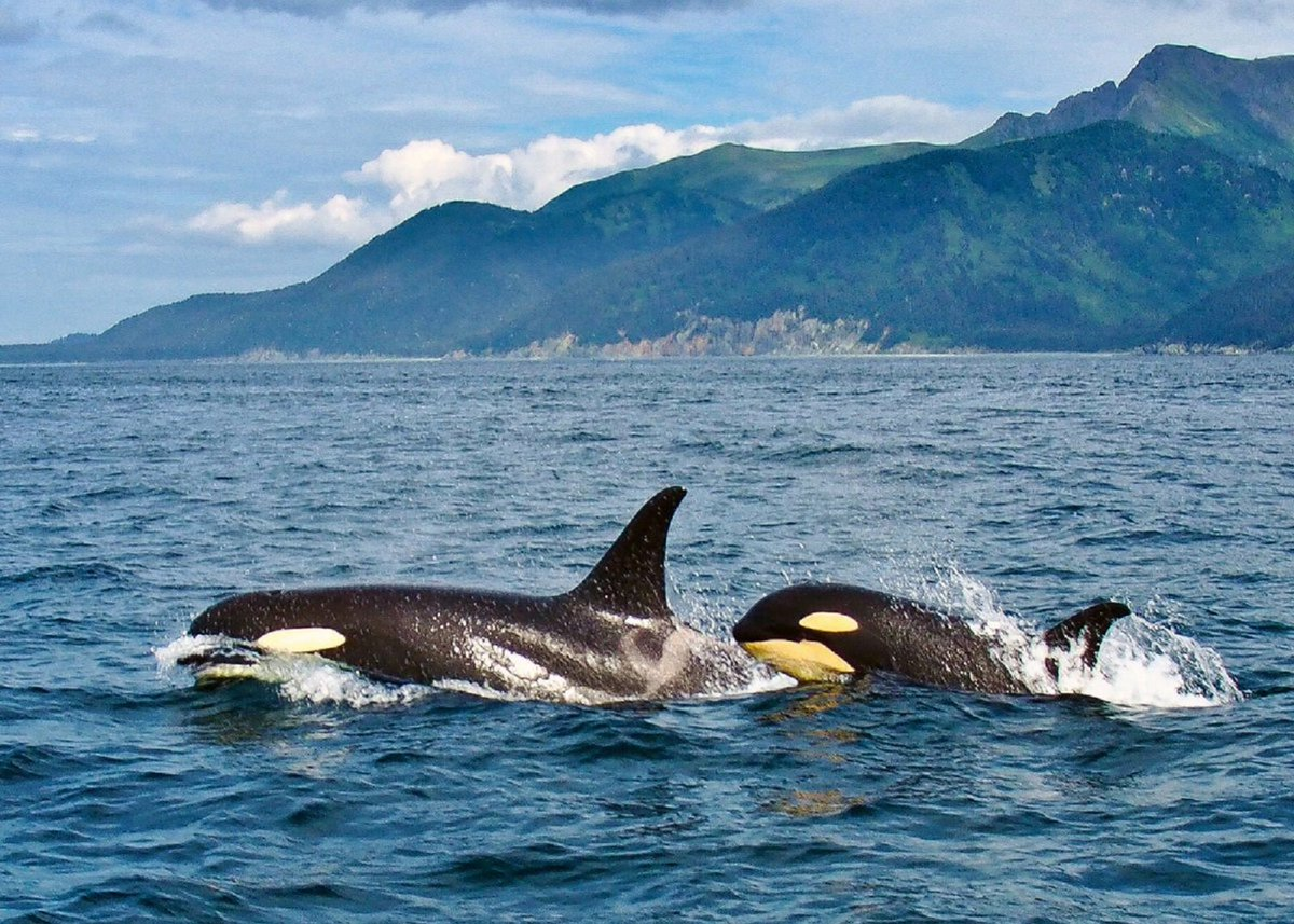 The 1989 Exxon Valdez oil spill also devastated the Southern Alaska Resident Orca AB Pod. 14 of the 36 AB Pod orcas were killed by the spill. While some new calves have been born since the disaster 30 years ago, AB Pod has still not recovered to its pre-oil spill population level <br>http://pic.twitter.com/S3nwzpWh2Z