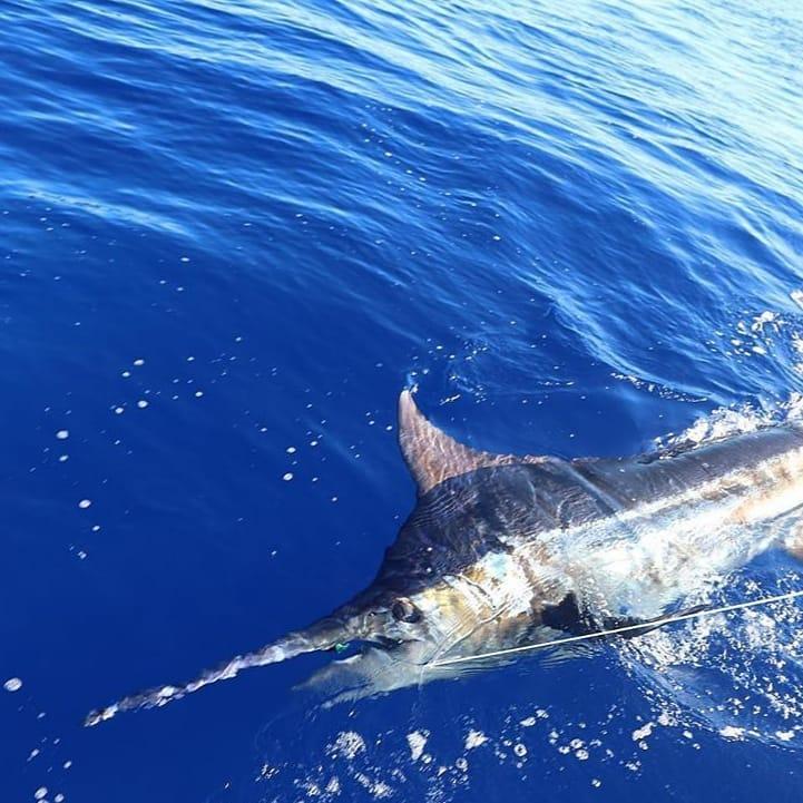 Kona, HI - Waiopai released a Blue Marlin (550).
