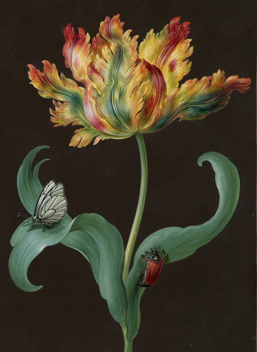 'Parrot tulip with butterfly and beetle' by Barbara Regina Dietzsch (1706-1783) Bavarian painter and engraver who sold her work throughout Europe #womensart