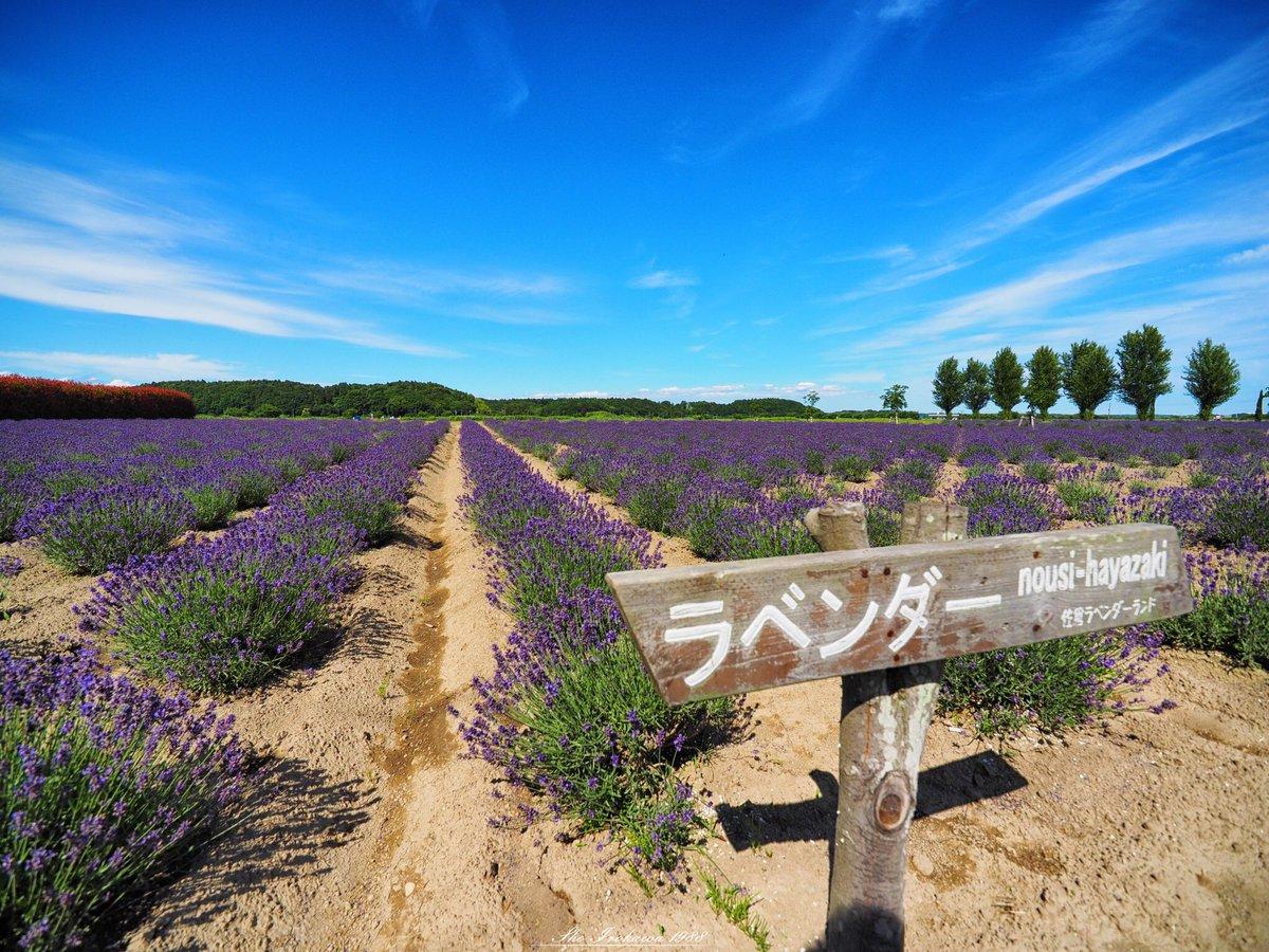 佐倉ラベンダーランド。 広大な面積のラベンダー畑は圧巻です。  prefecture:chiba location:Sakura Lavender Land camera:OLYMPUS  OMD-EM1 lens:ZUIKO DIGITAL ED 7〜14mm  F4.0+MMF-3 shooting mode:normal day:2019/6/17 title:佐倉ラベンダーランド