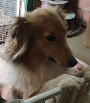 FIONA #MISSING since 17 June from A438 Ledbury #HR8 VERY NERVOUS DOG, DO NOT CALL HER OR TRY TO CATCH HER, RING  07860234218 OR 07866822031 IF YOU SPOT HER. If you know anyone in this area, please share #sheltie #lostdog #ScanMe #MissingDog #herefordshire<br>http://pic.twitter.com/Ib3mwQa4gN