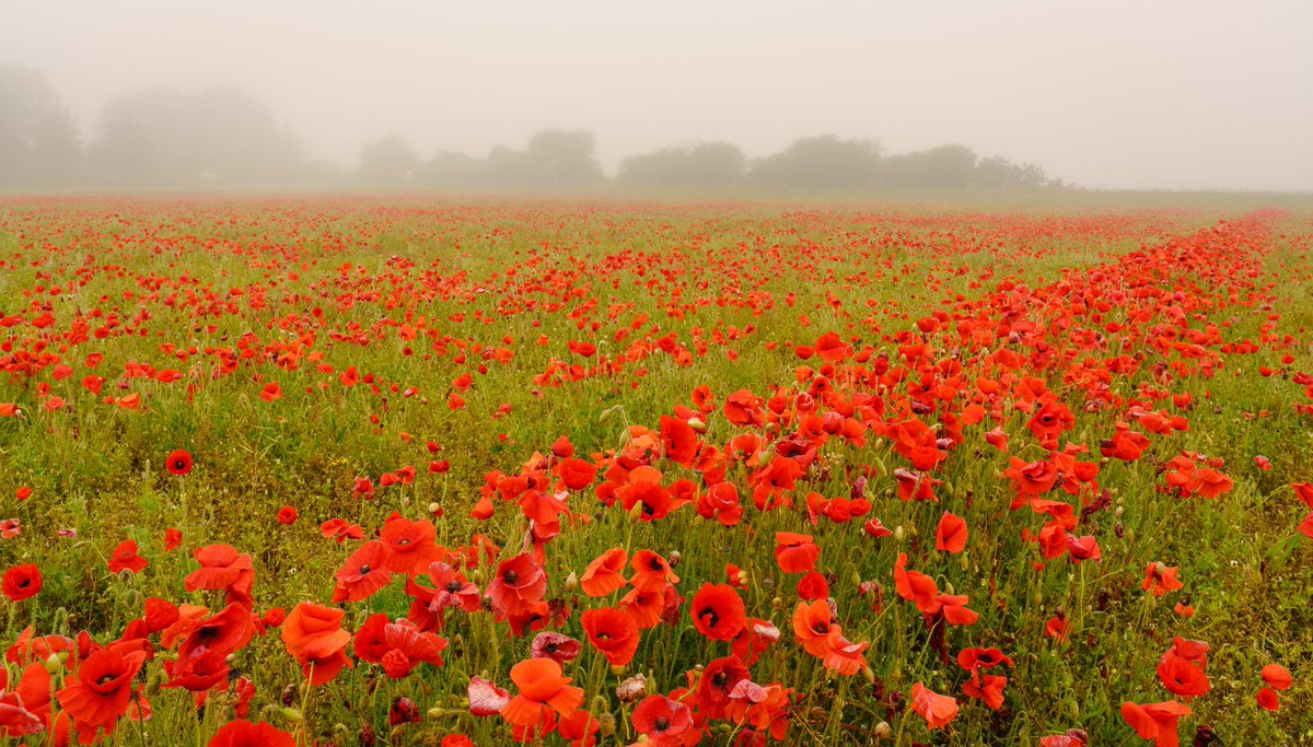 A few poppies in foggy conditions @visit_dorset @HollyJGreen @StormHour @BBCSouthWeather @BBCRadioSolent<br>http://pic.twitter.com/M0IWeAvnWw