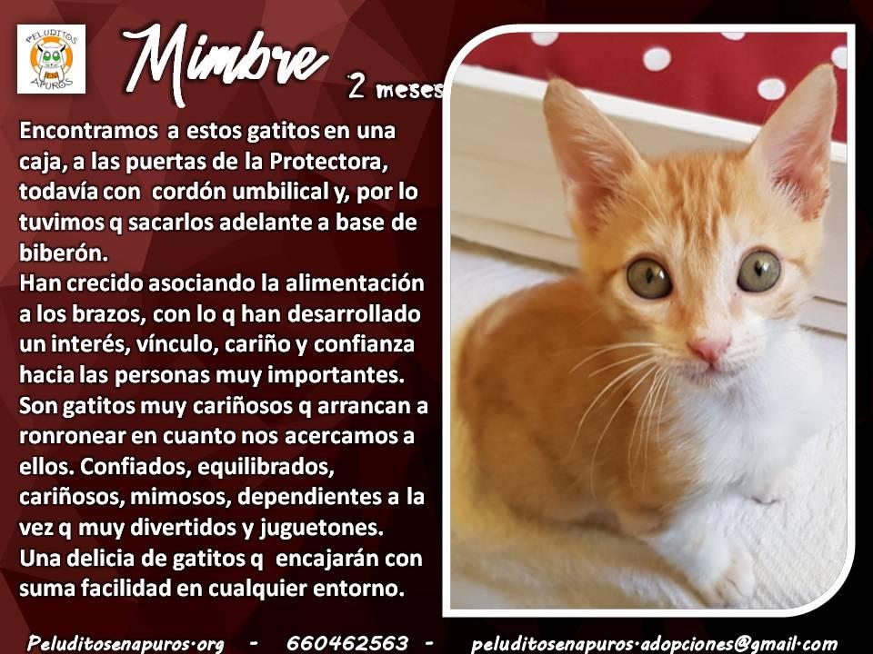 #Espana #Madrid MIMBRE , un #gatito cariñoso, sociable y divertido busca una familia definitiva !!! #adopta #AdoptaNoCompres #cats #Kittens #CatsOfTwitter  #FelizLunes #catslovers #dosmejorqueuno  http://peluditosenapuros.org/gatos-en-adopcion/gato/715…