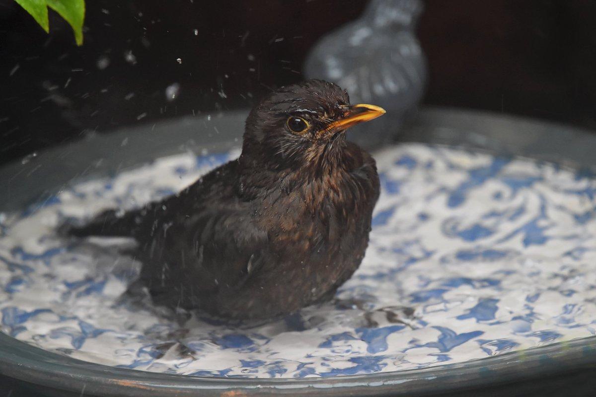 Female Blackbird in my garden today, taken through the kitchen window. Lyme Regis Dorset <br>http://pic.twitter.com/uFJk4hbRqD