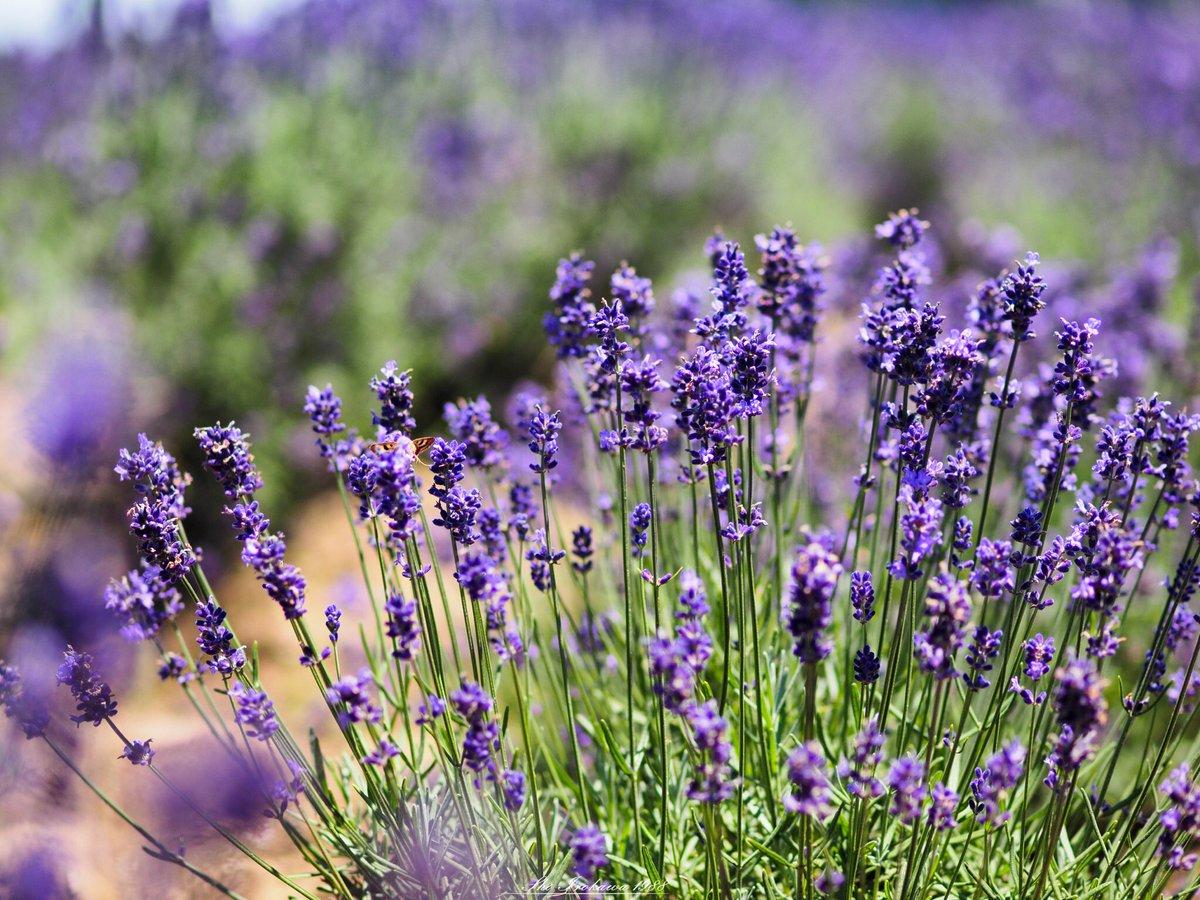 佐倉ラベンダーランド。 広大な面積のラベンダー畑は圧巻です。  prefecture:chiba location:Sakura Lavender Land camera:OLYMPUS  OMD-EM1 lens:ZUIKO DIGITAL ED 50mm  F2.0 macro+MMF-3 shooting mode:normal day:2019/6/17 title:初夏の香り