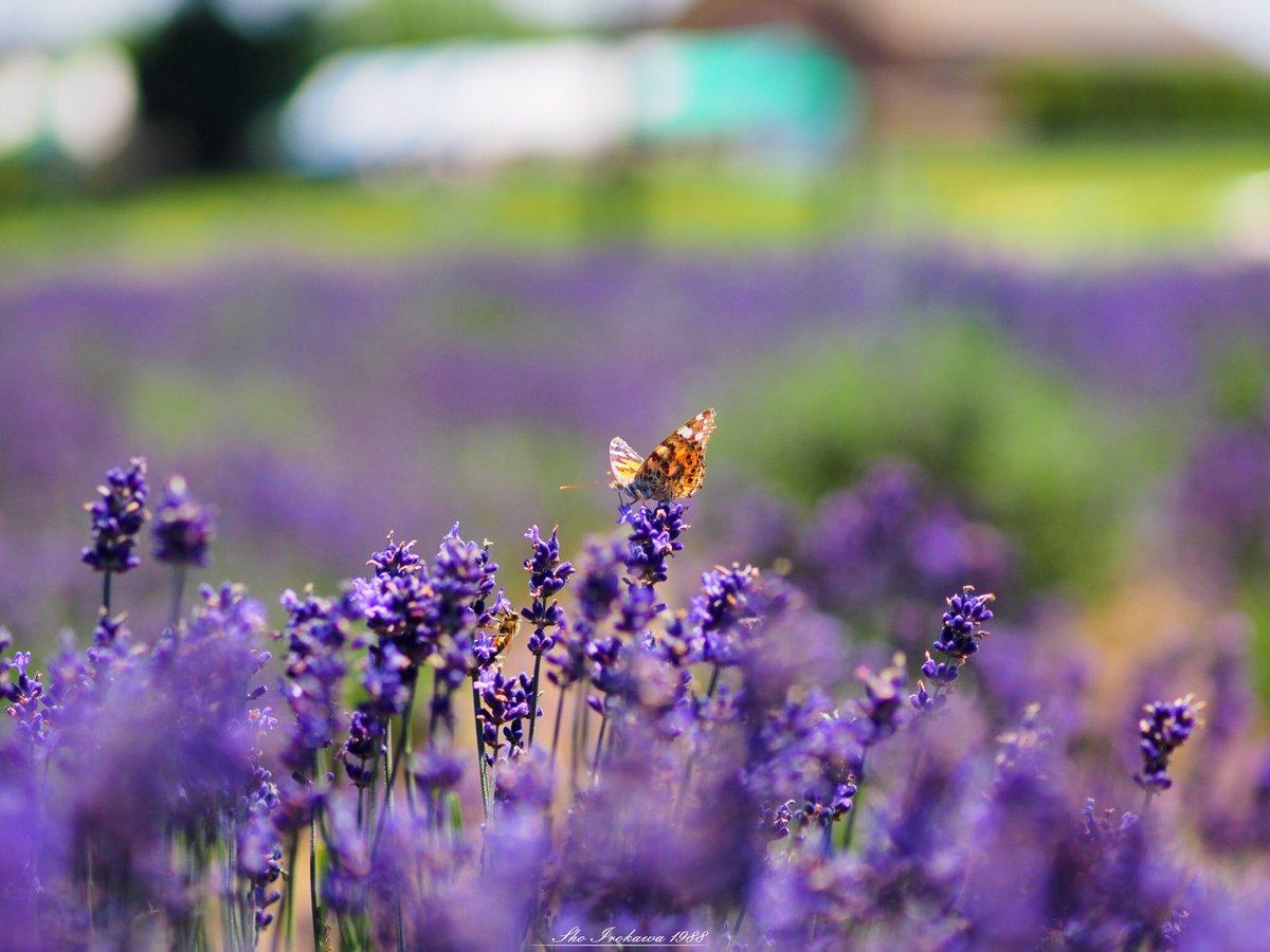 佐倉ラベンダーランド。 広大な面積のラベンダー畑は圧巻です。  prefecture:chiba location:Sakura Lavender Land camera:OLYMPUS  OMD-EM1 lens:ZUIKO DIGITAL ED 50mm  F2.0 macro+MMF-3 shooting mode:normal day:2019/6/17 title:甘い香りに誘われて