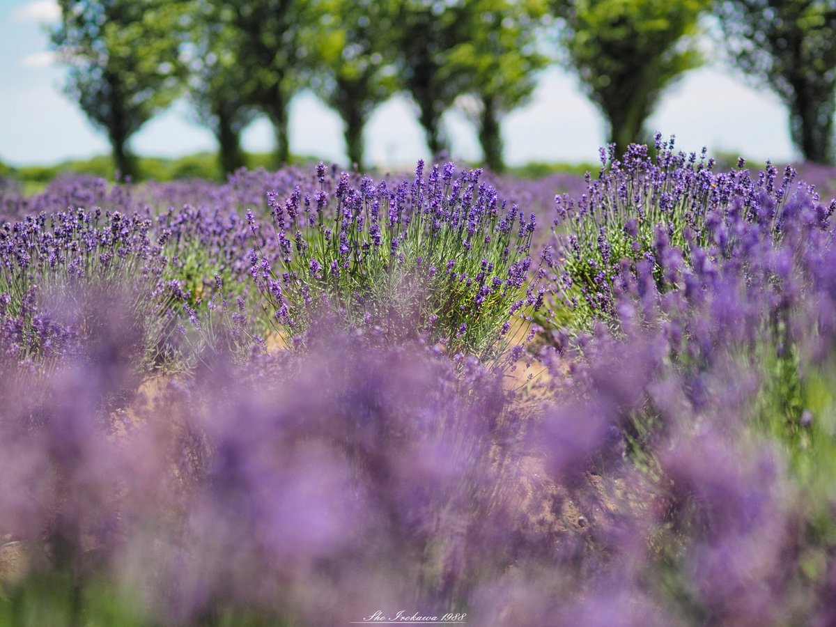 佐倉ラベンダーランド。 広大な面積のラベンダー畑は圧巻です。  prefecture:chiba location:Sakura Lavender Land camera:OLYMPUS  OMD-EM1 lens:ZUIKO DIGITAL ED 50mm  F2.0 macro+MMF-3 shooting mode:normal day:2019/6/17 title:溶け合う紫