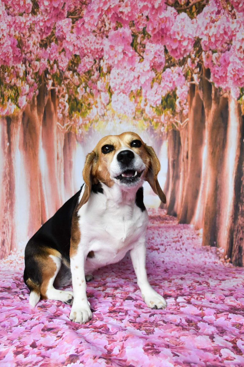 It feels like it's been raining forever so we thought we'd brighten today with some blossom pics  Bea of @beaglefreedom is such a pro!  #rescuedog #beagle #rescuelifestyle #wheressummer #HumpDaaaaaayyyy #wednesdaythoughts #crueltyfree #endanimaltesting #animaltestingsurvivor<br>http://pic.twitter.com/baxvQs70dY