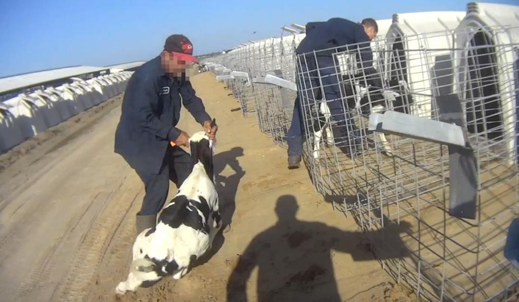 Is your dairy consumption, worth their suffering? We take a look at the undercover footage from #FairOaksFarm in our latest blog post.    Read the full story here:  https:// veganuary.com/blog/fair-oaks -dairy-investigation-routine-abuse-on-us-dairy-farm/  …   #Veganuary #Dairy #Milk #Vegetarian #GoVegan #Vegan #TryVegan #AnimalCruelty<br>http://pic.twitter.com/FjwkZFJrWl