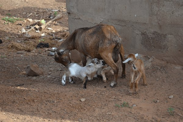 The Ga West Municipal Assembly has, in an uncharacteristic move auctioned four goats for GH₵665.  The move, according to the MCE, Clement Wilkinson, was to deter people from leaving their domestic animals to stray in people's homes and backyards.  #GhanaCrimes  - GraphicOnline